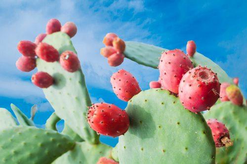 Nopal kaktus - Opuncia figová