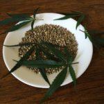 Cannabis sativa semená