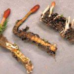 Cordyceps sinensis - cudzopasná huba
