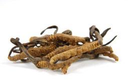 Cordyceps sinensis cudzopasná huba v tradičnej čínskej medicíne