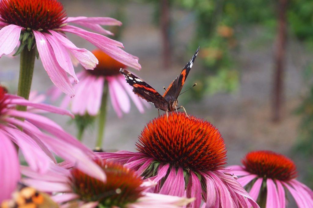 Echinacea purpurea kvet