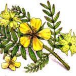 Kotvičník zemný Tribulus terrestris