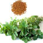 Senovka grécka, rastlina a semená