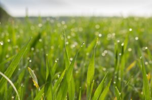 Zelený jačmeň rastlina mladé lístky