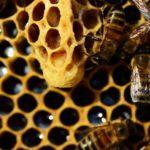 materská kašička, včelia kráľovná