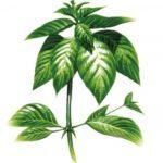 Vilcacora rastlina