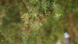 Tea tree - rastlina