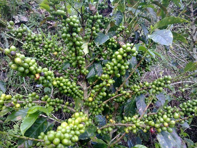 Zelená káva zrnká