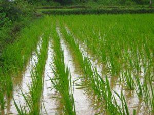 ryža basmati priamo z indie