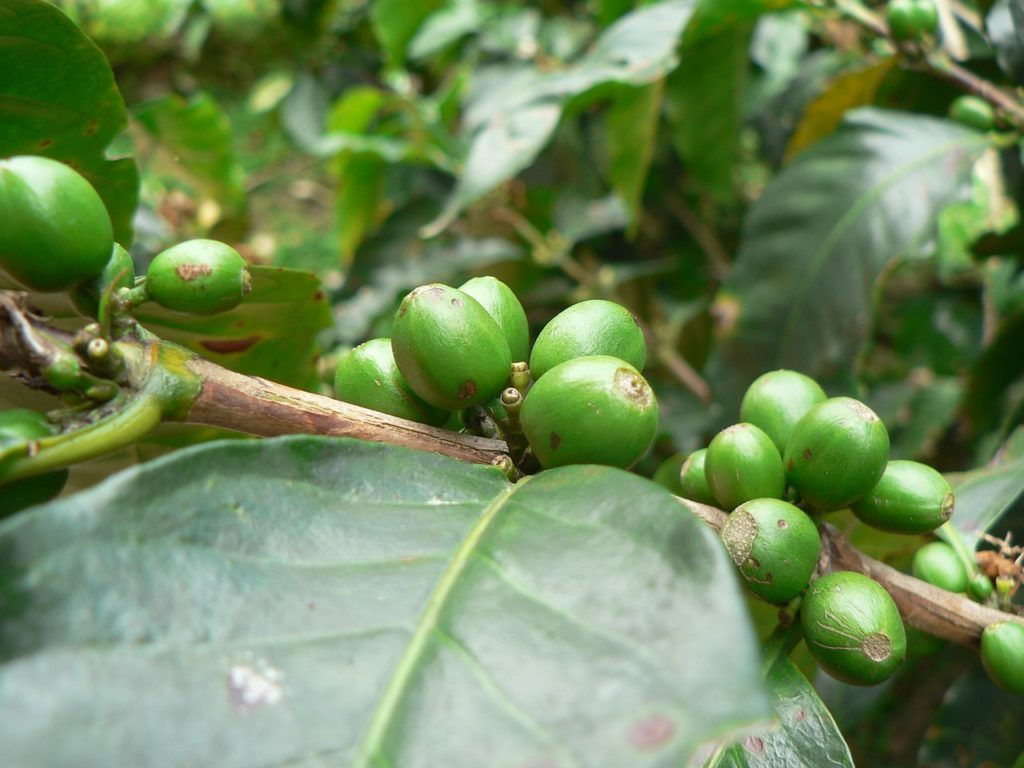 Zelená káva - list