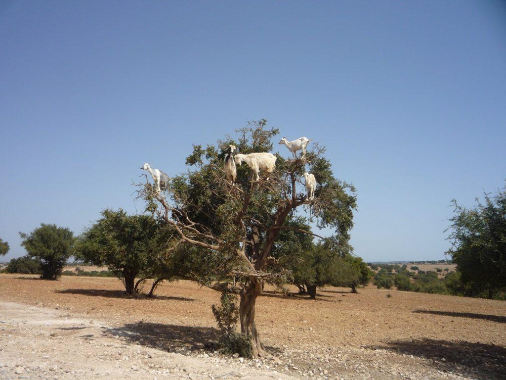 Kozy na arganovom strome Maroko