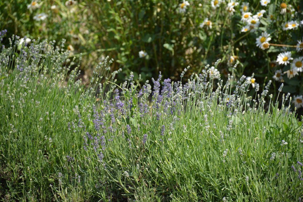 Levandula kvety - ucinky levanduloveho oleja