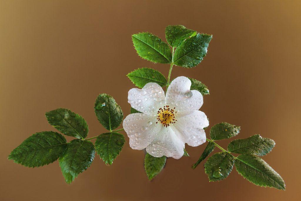 Ruža šípová - šípkový čaj