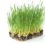 mladá pšenica