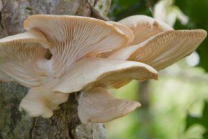 Drevokazná huba hliva ustricová