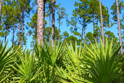 Serenoa repens - Saw Palmetto rastlina