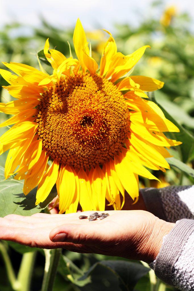 Slnečnicové semiačka- prírodný zdroj vitamínu E