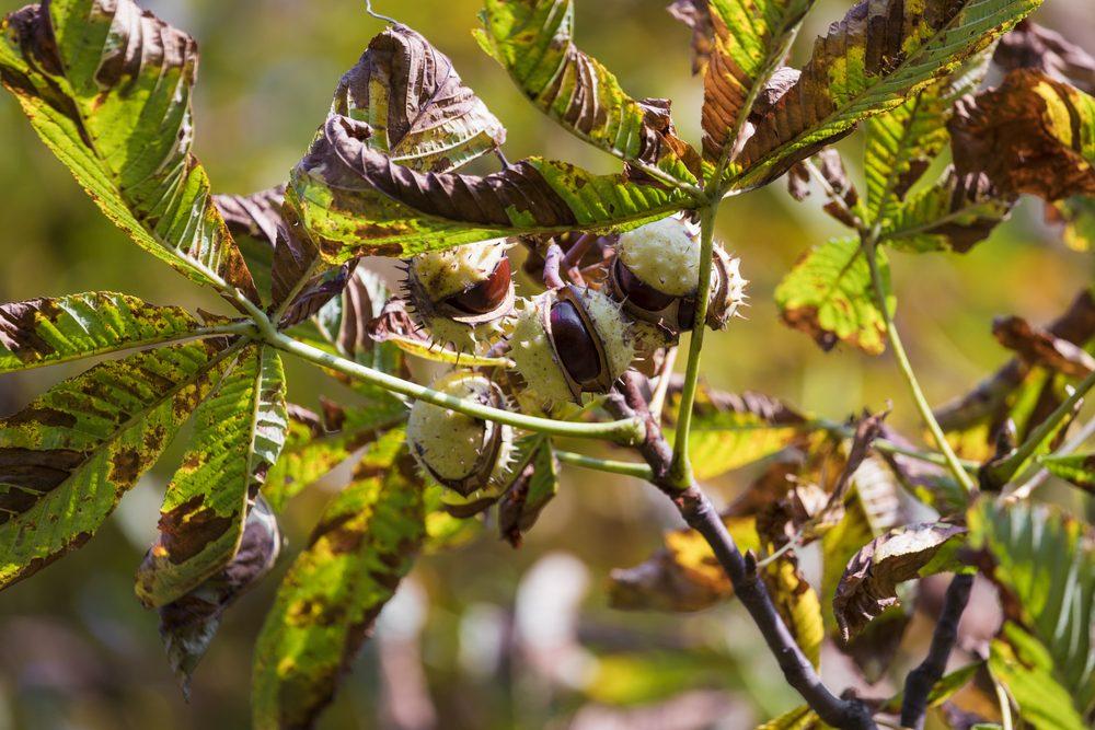 vývar zpagaštanu konského - prírodná liečba kŕčových žíl