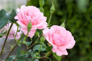 Ružová voda a jej história