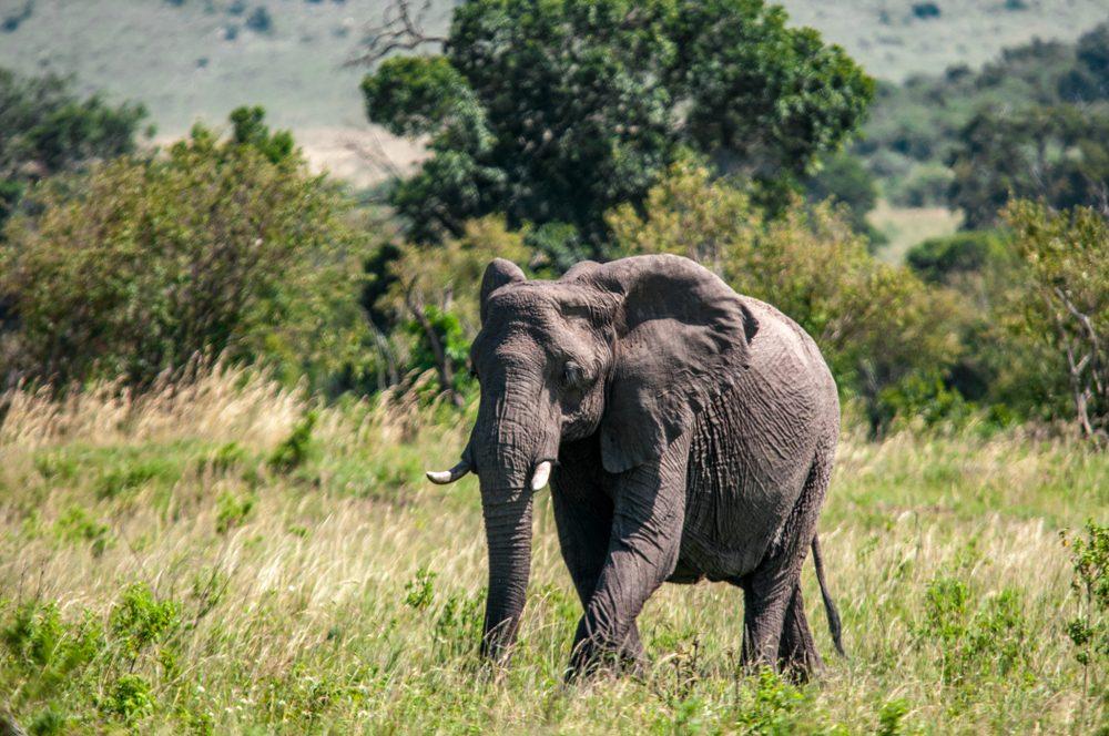 Slony na Sri Lanke možno ako prvé objavili liečivé účinky rastliny