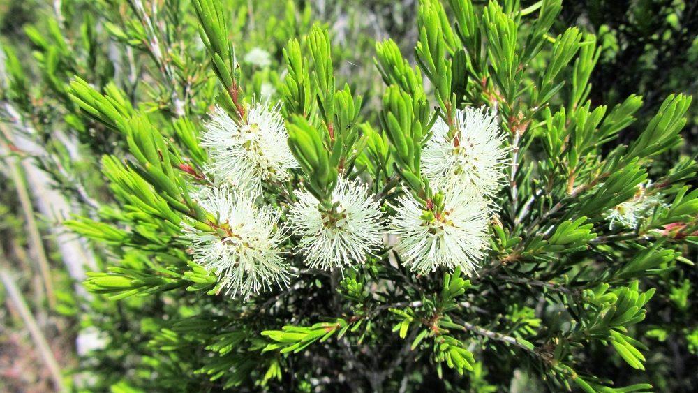 Tea tree - čajovník austrálsky