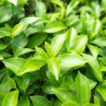 Zelený čaj Camellia sinensis