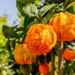 Divý pomaranč