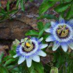 Mučenka opletavá - kvet