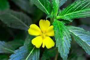 Damiána - Pastala rozprestretá, kvet a list