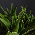 Zerex Enzemax: Aloe pravá, Aloe vera