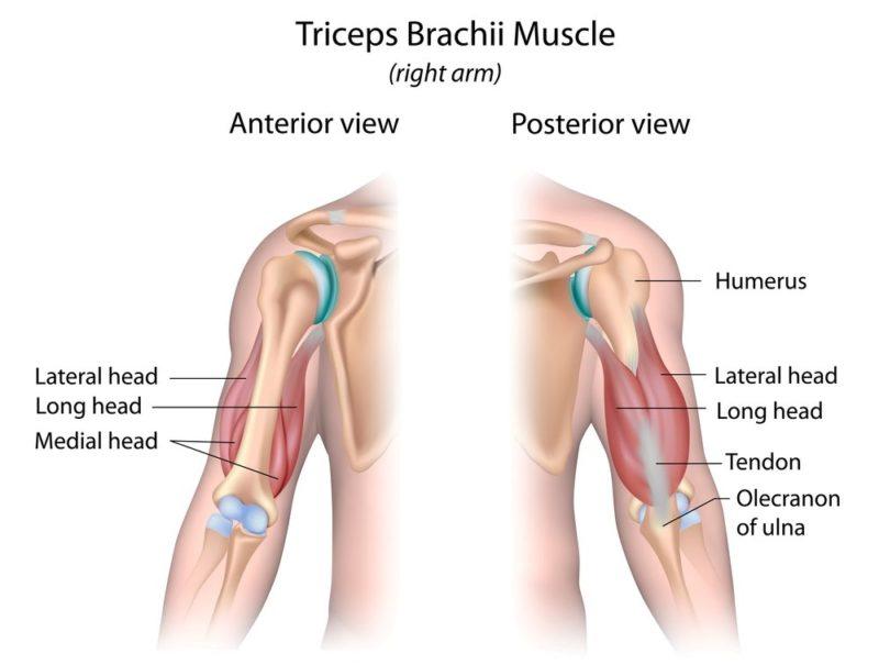 svaly tricepsu