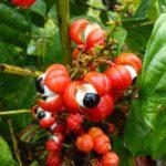Guarana - rastlina, plody, semená