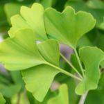 Ginkgo biloba - ginko dvojlaločné, listy