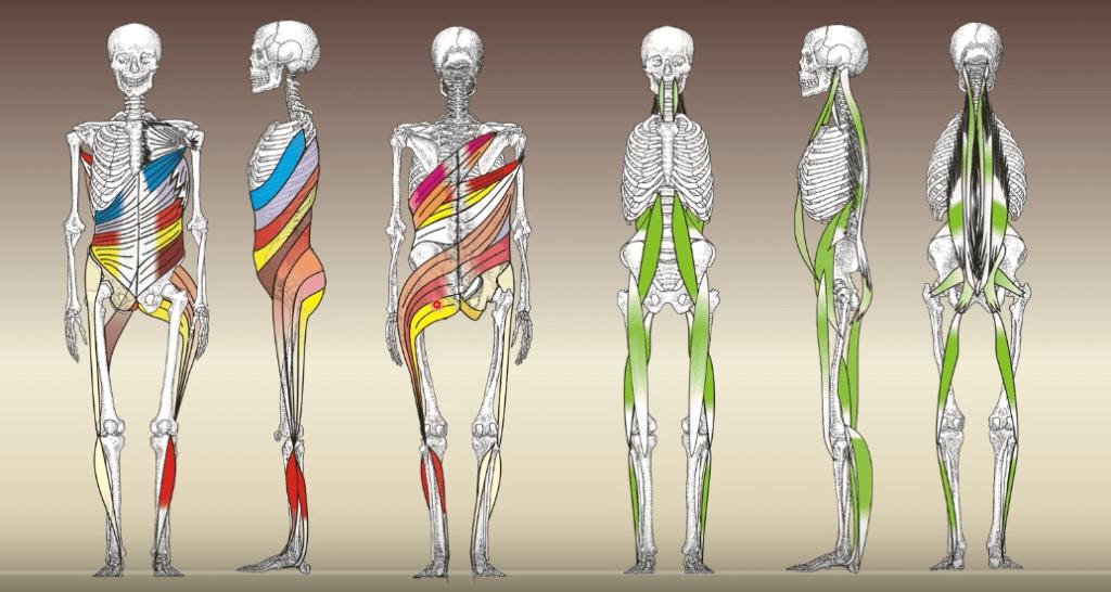 vyobrazenie svalových reťazcov na kostre človeka